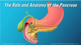Animation - The Role and Anatomy of the Pancreas